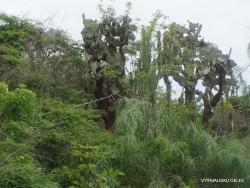 Santa Cruz Isl. The Charles Darwin Research Station. Opuntia echios var. gigantea (3)