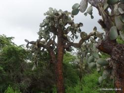 Santa Cruz Isl. The Charles Darwin Research Station. Opuntia echios var. gigantea