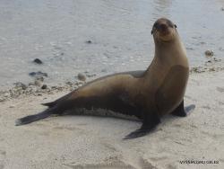 Genovesa Isl. Darwin Bay. (4) Galápagos sea lion (Zalophus wollebaeki)