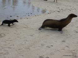Genovesa Isl. Darwin Bay. (5) Galápagos sea lion (Zalophus wollebaeki)