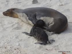 Genovesa Isl. Darwin Bay. (6) Galápagos sea lion (Zalophus wollebaeki)