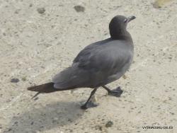 Genovesa Isl. Darwin Bay. Lavos kiras (Leucophaeus fuliginosus)