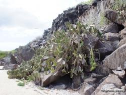 Genovesa Isl. Darwin Bay. Opuntia helleri (5)