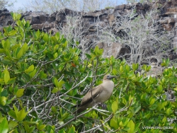 Genovesa Isl. Darwin Bay. Red-footed booby (Sula sula) (4)