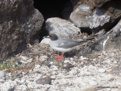 Swallow-taileGenovesa Isl. Darwin Bay. d gull (Creagrus furcatus) (2)