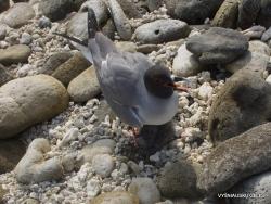 Genovesa Isl. Darwin Bay. Galapaginis kiras (Creagrus furcatus)