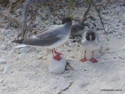 Genovesa Isl. Darwin Bay. Swallow-tailed gull (Creagrus furcatus)