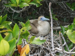 Genovesa Isl. Darwin Bay. red-footed booby (Sula sula) (7)