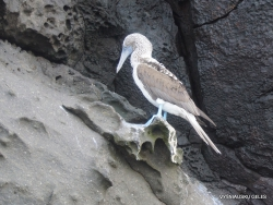Genovesa Isl. El Barranco. Blue-footed booby (Sula nebouxii excisa) (2)