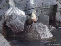 Genovesa Isl. El Barranco. Galápagos sea lion (Zalophus wollebaeki) (2)