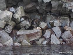 Genovesa Isl. El Barranco. Galápagos sea lion (Zalophus wollebaeki) (4)