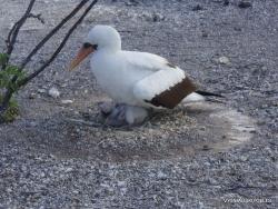 Genovesa Isl. El Barranco. Nazca booby (Sula granti) (4)
