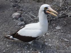 Genovesa Isl. El Barranco. Nazca booby (Sula granti) (7)