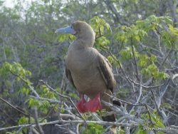Genovesa Isl. El Barranco. Red-footed booby (Sula sula)
