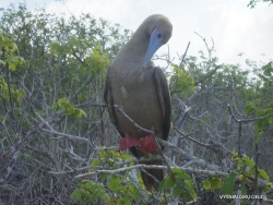 Genovesa Isl. El Barranco. red-footed booby (Sula sula) (2)