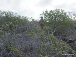 Genovesa Isl. El Barranco. red-footed booby (Sula sula) (3)