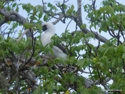 Genovesa Isl. El Barranco. red-footed booby (Sula sula) (5)
