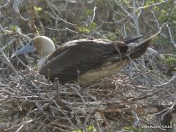 Genovesa Isl. El Barranco. red-footed booby (Sula sula) (6)