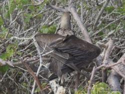 Genovesa Isl. El Barranco. red-footed booby (Sula sula) (7)