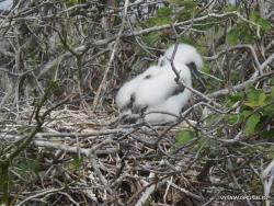 Genovesa Isl. El Barranco. red-footed booby (Sula sula) (8)