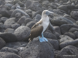 Lobos Isl. Blue-footed booby (Sula nebouxii excisa) (2)