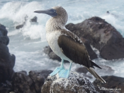 Lobos Isl. Blue-footed booby (Sula nebouxii excisa) (3)