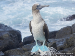 Lobos Isl. Blue-footed booby (Sula nebouxii excisa) (4)