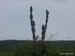 Lobos Isl. Candelabra cactus (Jasminocereus thouarsii) (2)
