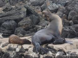 Lobos Isl. Galápagos sea lion (Zalophus wollebaeki) (4)