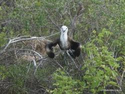 Lobos Isl. Magnificent frigatebird (Fregata magnificens) (2)