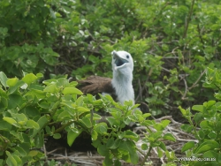 Lobos Isl. Magnificent frigatebird (Fregata magnificens)
