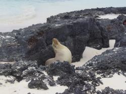 San Cristobal Isl. Cerro Brujo. Galapaginis jūrų liūtas (Zalophus wollebaeki)