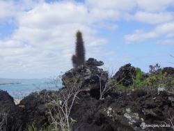 San Cristobal Isl. Cerro Brujo. Galapaginis kubilenis (Jasminocereus thouarsii) (3)