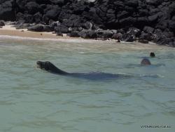 Santa Fe Isl. Galapaginis jūrų liūtas (Zalophus wollebaeki)