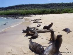 Santa Fe Isl. (2) Galápagos sea lion (Zalophus wollebaeki)