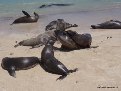 Santa Fe Isl. (3) Galápagos sea lion (Zalophus wollebaeki)