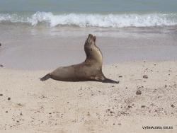 Santa Fe Isl. (4) Galápagos sea lion (Zalophus wollebaeki)