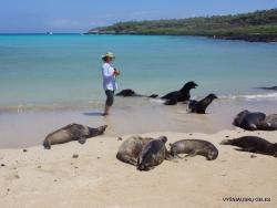 Santa Fe Isl. (7) Galápagos sea lion (Zalophus wollebaeki)