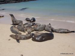 Santa Fe Isl. (9) Galápagos sea lion (Zalophus wollebaeki)