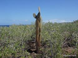 Santa Fe Isl. Opuntia echios var. barringtonensis (2)