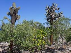 Santa Fe Isl. Opuntia echios var. barringtonensis (3)