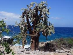 Santa Fe Isl. Opuntia echios var. barringtonensis (5)