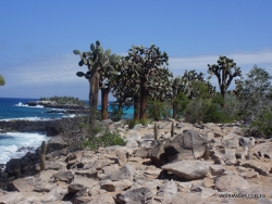 Santa Fe Isl. Opuntia echios var. barringtonensis (6)