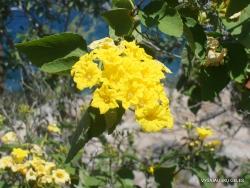 Santa Fe Isl. Yellow cordia (Cordia lutea)