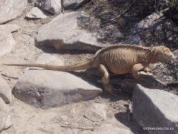 Santa Galapagų sausumos blyškioji iguana (Conolophus pallidus) (2)