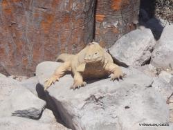 Santa Fe land iguana (Conolophus pallidus) (3)