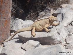 Santa Fe land iguana (Conolophus pallidus)