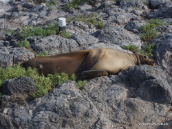 South Plaza Isl. (5) Galápagos sea lion (Zalophus wollebaeki)