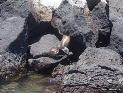 South Plaza Isl. (9) Galápagos sea lion (Zalophus wollebaeki)