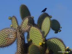 South Plaza Isl. Mažoji kaktusinė dirvinė starta (Geospiza scandens) (Geospiza scandens)